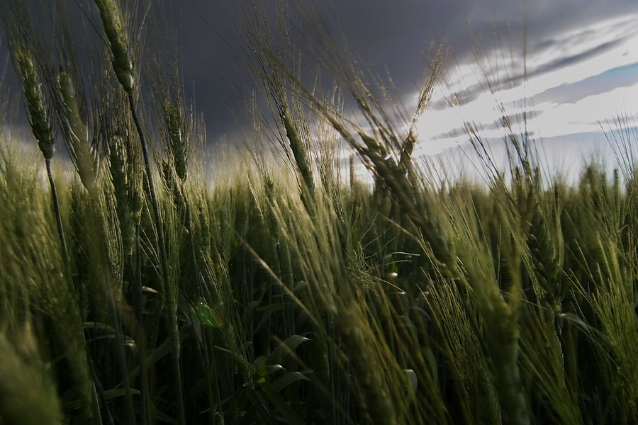 Wheat in storm